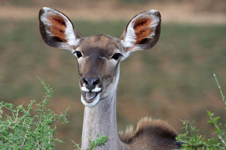 Feamale kudu antelope from Africa with large ears photo