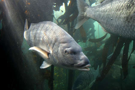 grunter: Large steenbras fish off the South African coast Stock Photo