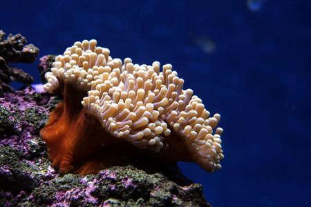 tentacles: Anenome mar con tent�culos hermosa sobre una roca en el fondo del mar Foto de archivo
