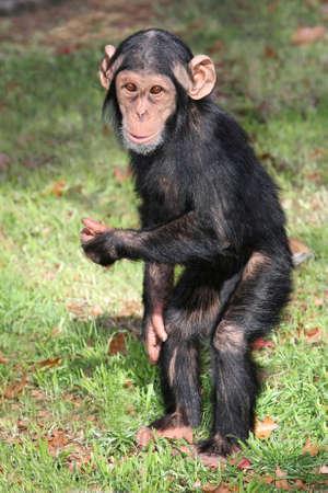 chimpansee: Komisch baby Chimpansee staande op zijn hand benen Stockfoto