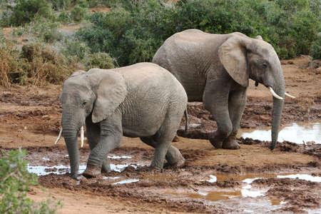 pozo de agua: Elefantes africanos en una charca barrosa Foto de archivo