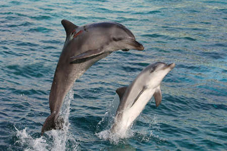 bottlenose: Two graceful bottlenose dolphins bow jumping out of the water