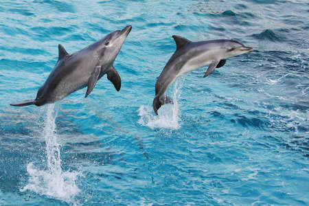 oceanarium: Bottlenose dolphins jumping out of the clear blue water
