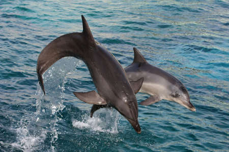Two graceful bottlenose dolphins bow jumping out of the water