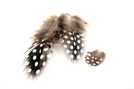 Guineafowl feathers with white spots and fluff Reklamní fotografie