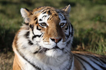 Portrait of a beautiful tiger with striped fur photo