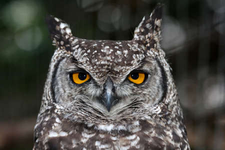 Spotted eagle owl with large round yellow eyes