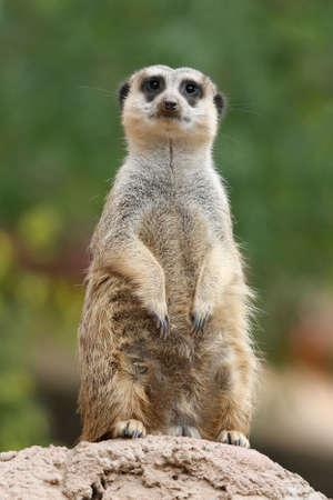 suricate: Cute meerkat or suricate on the lookout Stock Photo