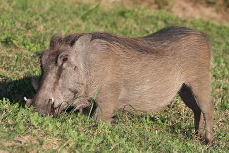 Warthog male kneeling as it eats grass on the African plain photo