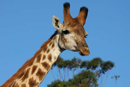 Portrait of a giraffe against blue African sky photo
