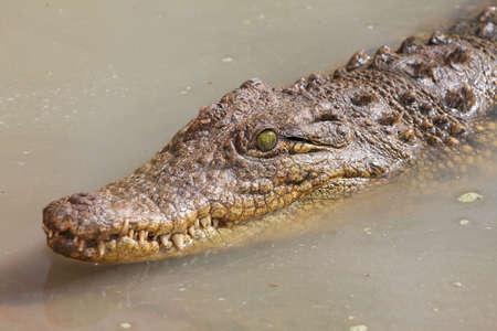 murky: Crocodile with green eyes swimming in murky water