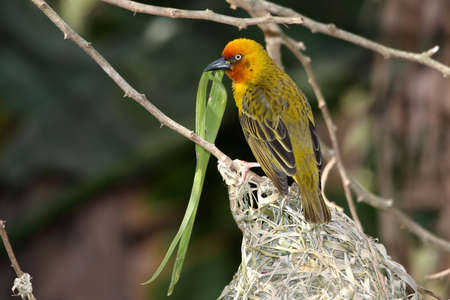 Breeding male cape weaver bird with a blade of grass in it's beak Stock Photo - 5454123