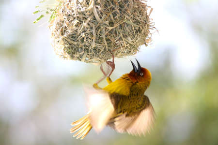 Male Cape weaver bird hanging from its nest to attract a mate