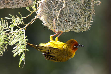 weaver bird: Male Cape weaver bird hanging from its nest to attract a mate