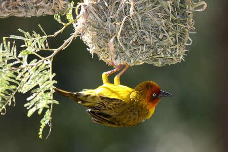 それは仲間を誘致して巣からぶら下がっている男性岬ウィーバー鳥