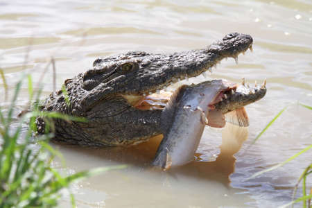 caught fish: Crocodile with green eyes and freshly caught fish Stock Photo