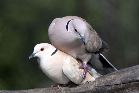 Two ring necked doves having just completed mating photo
