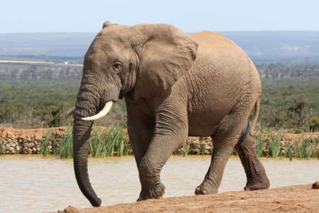 Huge African elephant walking to a waterhole to start quenching his thirst
