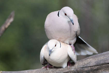 Two beautiful ring necked doves mating on a tree branch photo