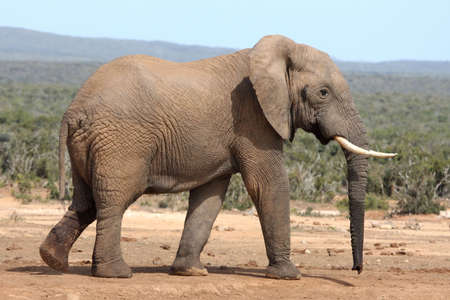 veld: Huge African elephant in a clearing the bush veld Stock Photo