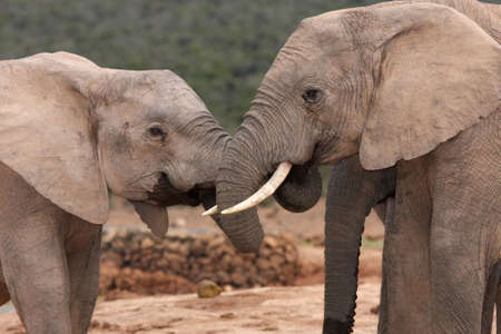 Two friendy African elephants greeting each other with trunks intertwined Stock Photo - 5610813