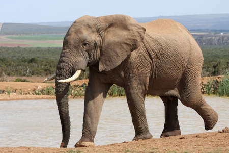 Huge African elephant arriving at a waterhole to drink photo