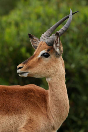 impala: Young Impala ram with curved horns looking alert Stock Photo