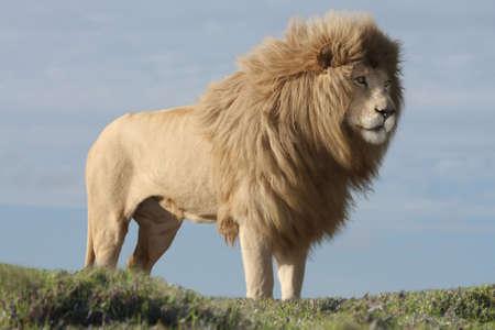leones: Magn�fico le�n blanco macho con gran melena Foto de archivo