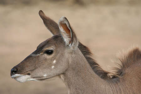 Profile of a female kudu antelope from Africa photo
