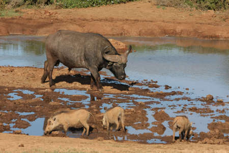 water hole: Large African buffalo in a water hole with three warthogs