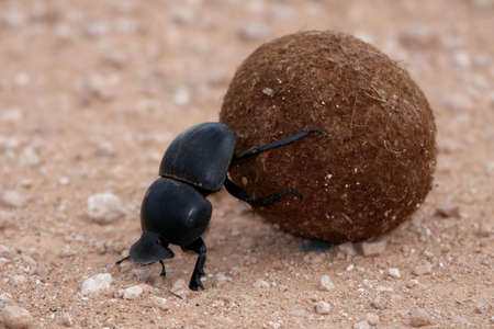 breeding ground: Rare dung beetle from Addo in South Africa rolling a ball of dung to lay eggs in