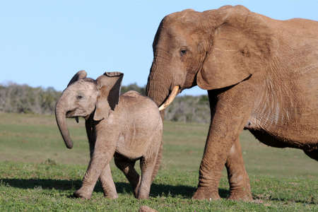 African elephant mother prodding its baby to move on photo