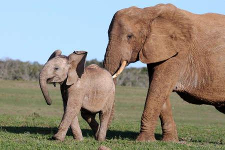 Afrikanischer Elefant Mutter Drängen it's baby to move on Standard-Bild
