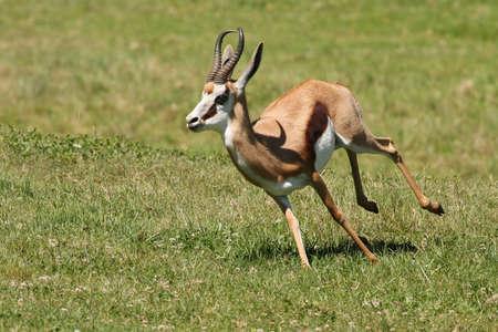 springbuck: Springbuck antelope from Africa running across the green grass Stock Photo