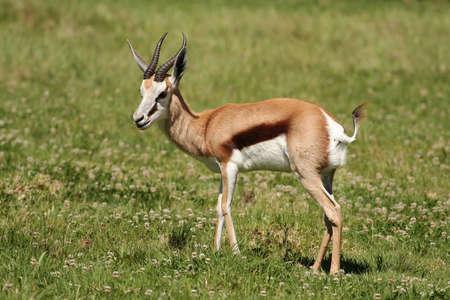 springbuck: Female springbuck antelope on the green grass plains