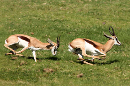 Two male springbuck antelope chasing each other to compete for females photo