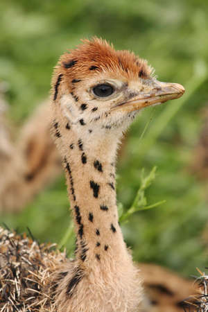 ostrich chick: Baby ostrich chick with distinctive spots and markings on its neck