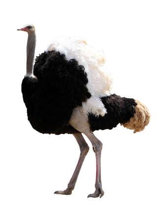 avestruz: Hermoso avestruz macho con hermosas plumas aisladas sobre fondo blanco