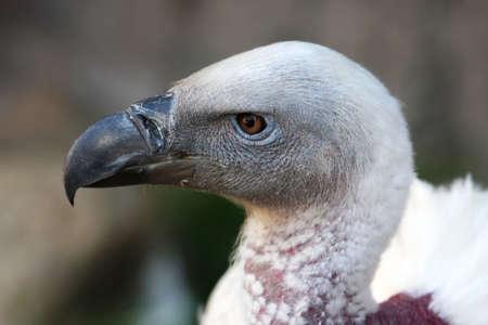 beak vulture: Portrait of a Griffon vulture with a large heavy beak