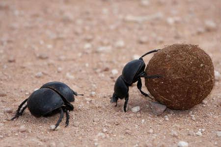 escarabajo: Dung escarabajos rodando su bola de esti�rcol a poner huevos en Foto de archivo