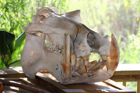 enormous: Skull of a hippopotamus shownig enormous sharp teeth