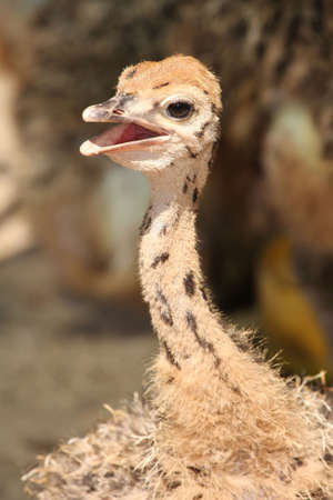ostrich chick: Baby ostrich chick in the African heat with beak open to cool down