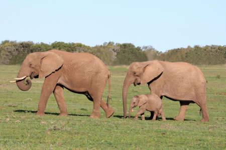 Elephant family walking across an open African plain photo