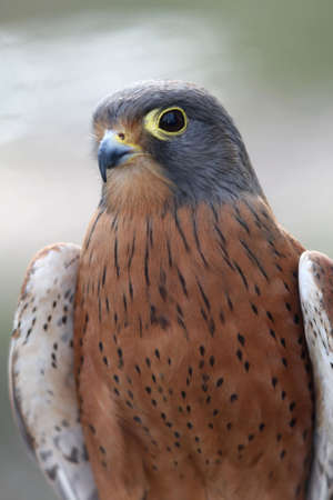 Rock Kestrel bird of prey with brown and gray feathers photo
