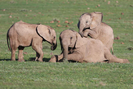 Young elephants playing games on the green African grass photo