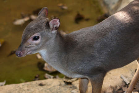 The very small and shy Blue Duilker antelope from Africa