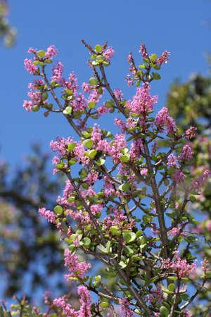 Pretty mauve flowers of the spekboom bush or shrub