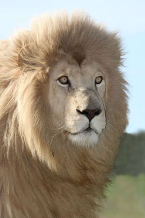Close up of a male white lion with a large mane and piercing eyes Stock Photo - 5899592