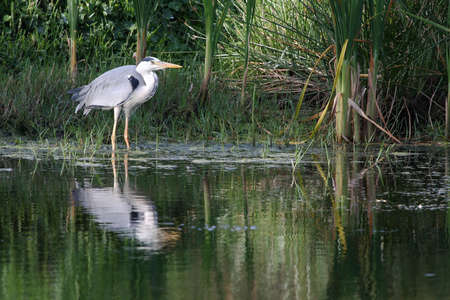 Grey heron hunting for fish to eat photo