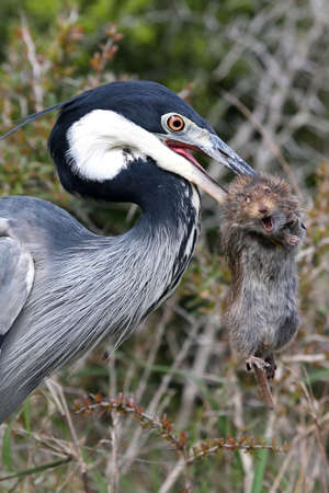 squeal: Heron bird with a rat in its beak that it has just caught